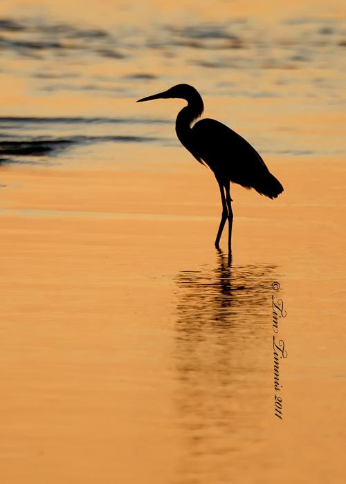 reddish egret silhouette tim timmis photography