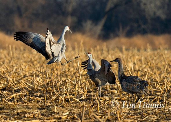 185_Nebraska Sandhill Cranes_03272015-2