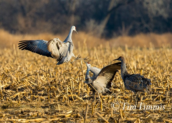 186_Nebraska Sandhill Cranes_03272015-2