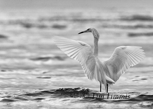 699_Galveston FeatherFest_04102015-4